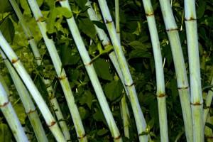 Recruitment policy like bamboo